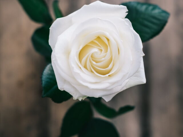 white-rose-spratt-unsplash