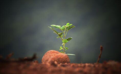 Growing IBCD